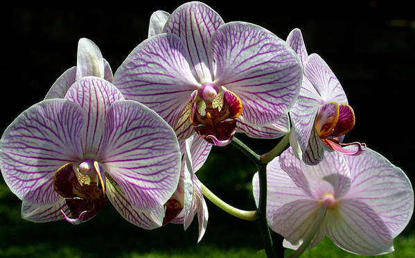 Ribet Art Print featuring the photograph Orchid Flower Blooms by C Ribet