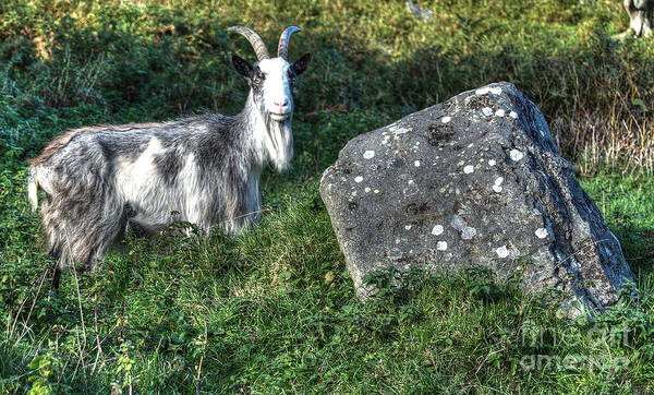Goat Art Print featuring the photograph The Goat And The Stone by Rob Hawkins
