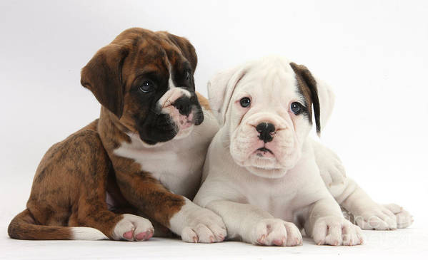 Animal Art Print featuring the photograph Boxer Puppies by Mark Taylor
