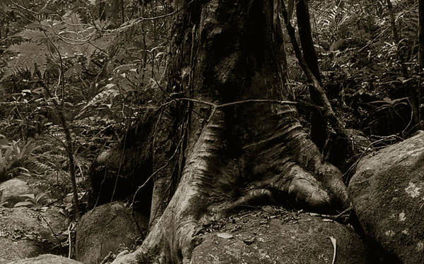 Roots Print featuring the photograph Roots And Rocks by Amarildo Correa