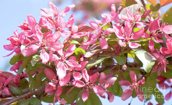Pink Art Print featuring the photograph Pink Cherry Flowers by Irina Afonskaya