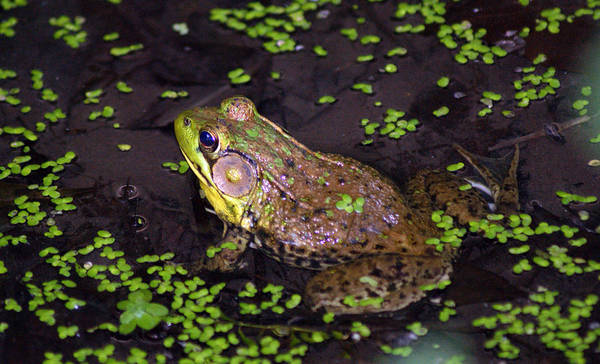 Frog Art Print featuring the photograph A Frog's Reflection by Kat Dee