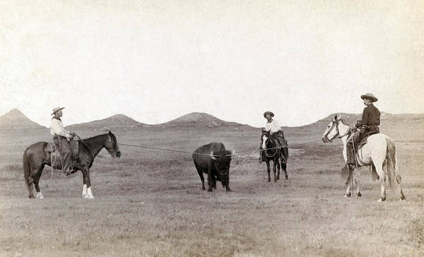 1880s Art Print featuring the photograph Cowboys, Roping A Buffalo by Everett