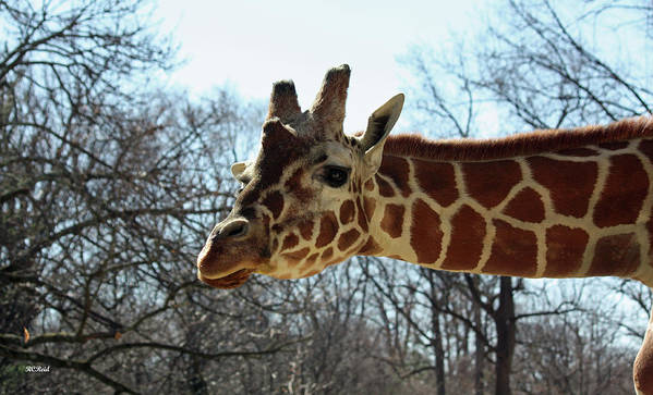 Maryland Art Print featuring the photograph Giraffe Stretching For A View by Ronald Reid