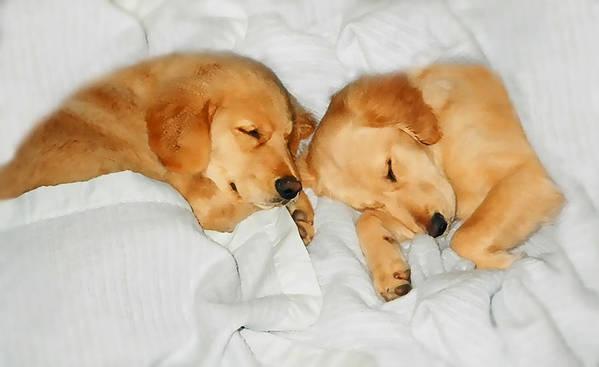 Golden Retriever Art Print featuring the photograph Golden Retriever Dog Puppies Sleeping by Jennie Marie Schell