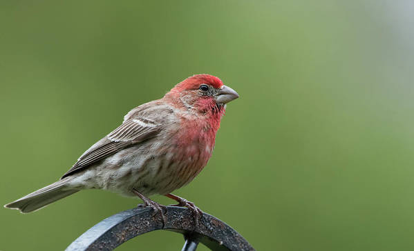 Birds Art Print featuring the photograph House Finch by Clifford Pugliese