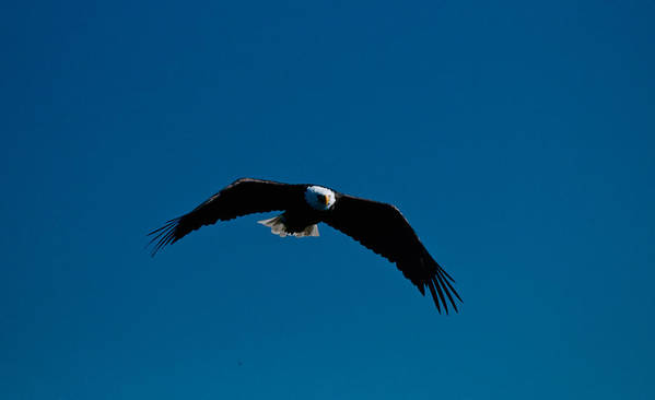 Eagle Art Print featuring the photograph In The Glide Path by Paul Mangold