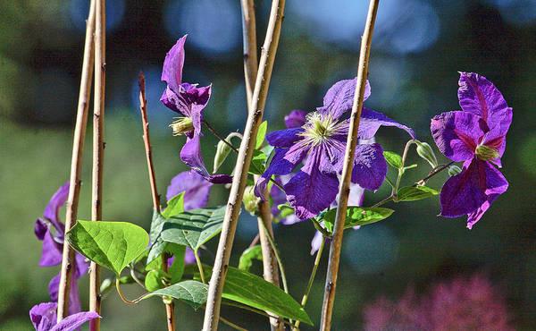 Flowers Art Print featuring the photograph Purple Vine Flower by Liz Santie