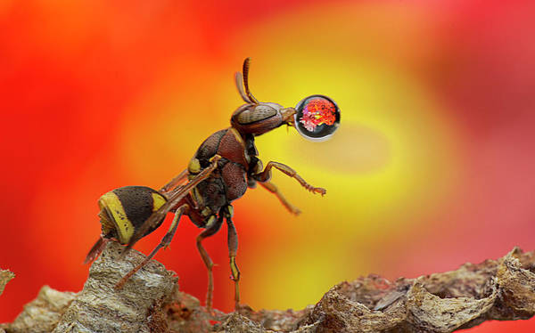 Macro Art Print featuring the photograph Wasp Blowing Bubble 160605d by Lim Choo How