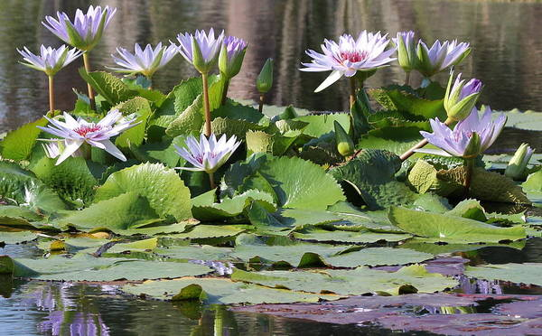 Flower Art Print featuring the photograph Water Lillies by Sean Allen