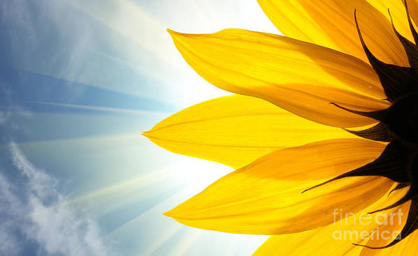 Big Art Print featuring the photograph Sunflower Detail Isolated On White by Logoboom