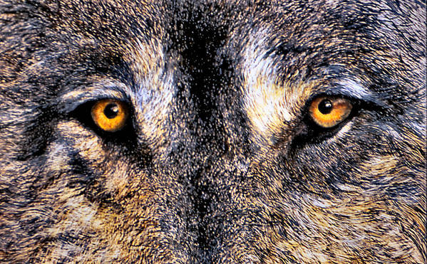 Wolf Eyes Art Print featuring the print Just Watching Wolf by JoLyn Holladay