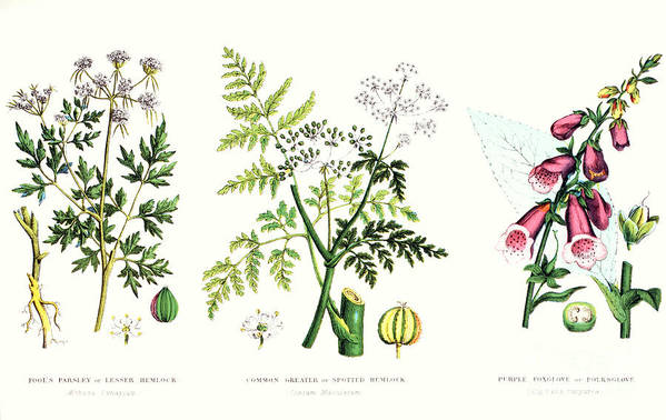 Botany; Botanical; Medicine; Medical; Plant; Flower; Flowers; Toxic Art Print featuring the painting Common Poisonous Plants by English School