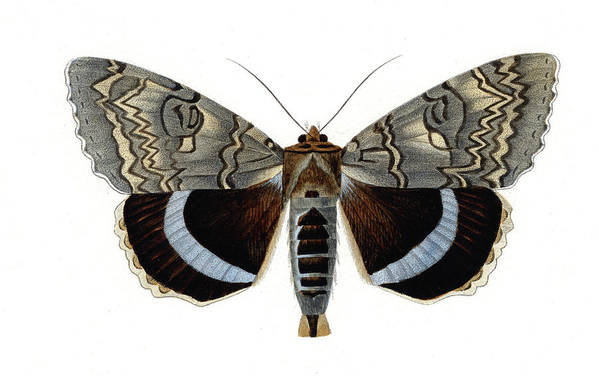 19th Century Art Print featuring the photograph Blue Underwing Moth by Collection Abecasis