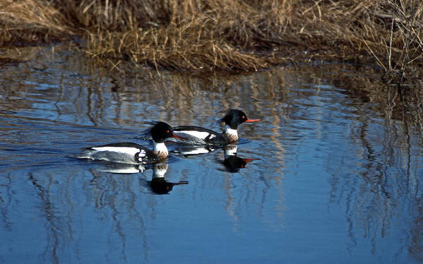 American Merganser Art Print featuring the photograph Drakes A Pair by Skip Willits