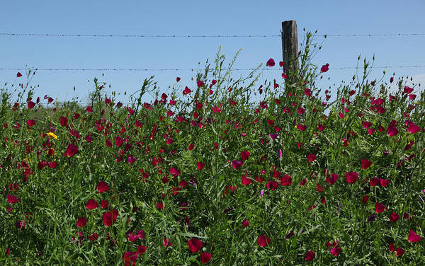 Texas Wildflower Art Print featuring the photograph Wine Cups And Barbed Wire by Susan Rovira