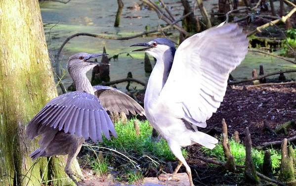 Herons Art Print featuring the photograph A Chat Between Friends by Bill Hosford