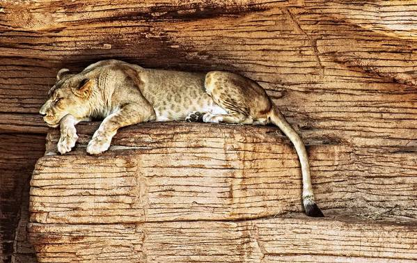 Lion Art Print featuring the photograph Just Chillin by Kenneth Mucke