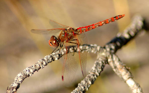 Red Art Print featuring the photograph Red Dragonfly by David Brown