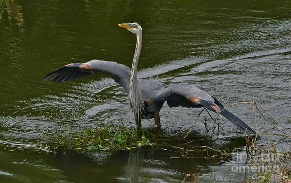Heron Art Print featuring the photograph The Mating Dance by Carol Bradley