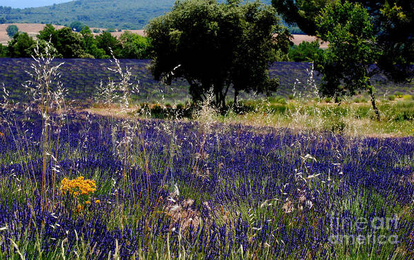 Lavender Fields Art Print featuring the photograph Wild Beauty by Andrea Simon