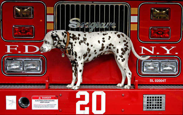 Dalmation Art Print featuring the photograph Fire Dog by Bryan Hochman
