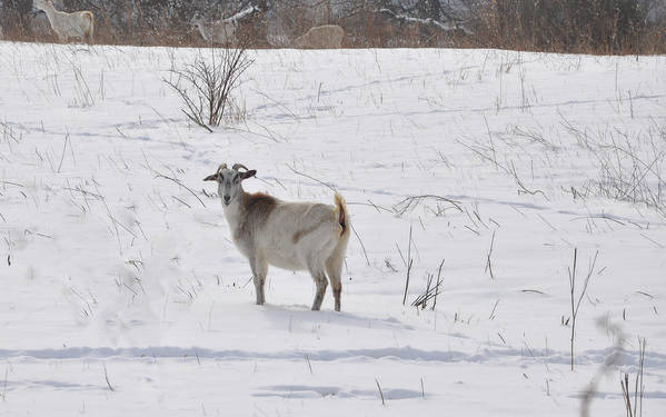 Goats Art Print featuring the photograph Goats In Snow by Brittany Horton