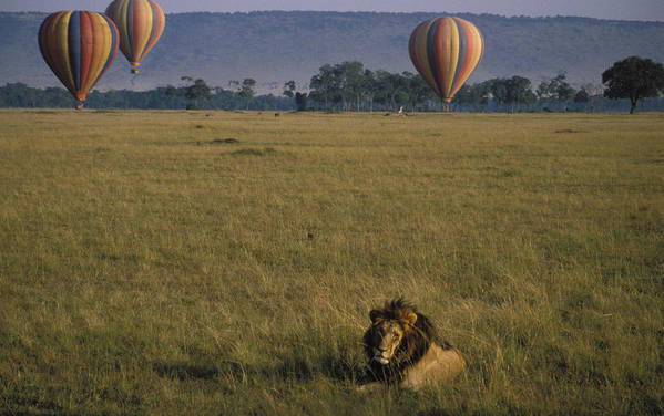 Lion Art Print featuring the photograph Lion Ignores Balloons by Carl Purcell