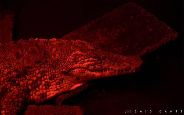 Alligator Art Print featuring the photograph Said Dante by Jonathan Ellis Keys
