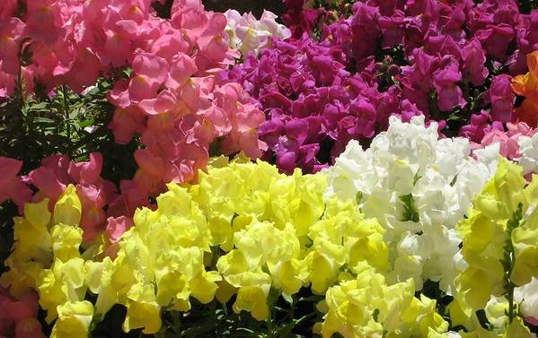 Snapdragons Art Print featuring the photograph Snapdragons by Rebecca Shupp
