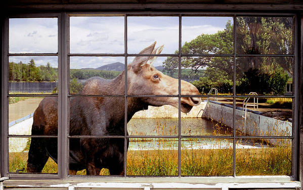 Moose Art Print featuring the photograph Window - Moosehead Lake by Peter J Sucy