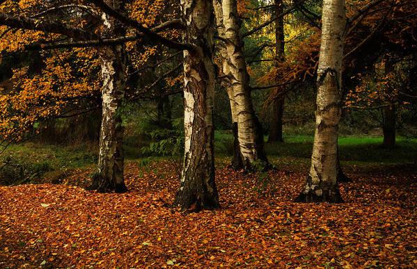 Fall Art Print featuring the photograph Birches by Olga Zvereva