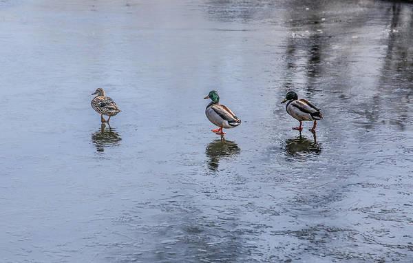 Mallard Art Print featuring the photograph Ducks On Ice by Ray Congrove