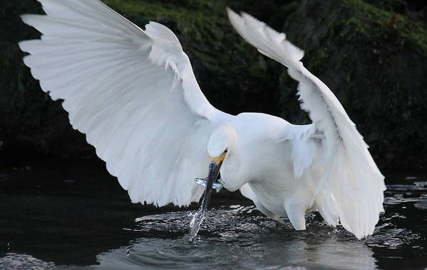 Egret Art Print featuring the photograph Fast Catch by David Jones