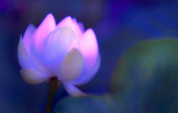 Lotus Art Print featuring the photograph Glow Of Inner Truth. Impressionism by Jenny Rainbow
