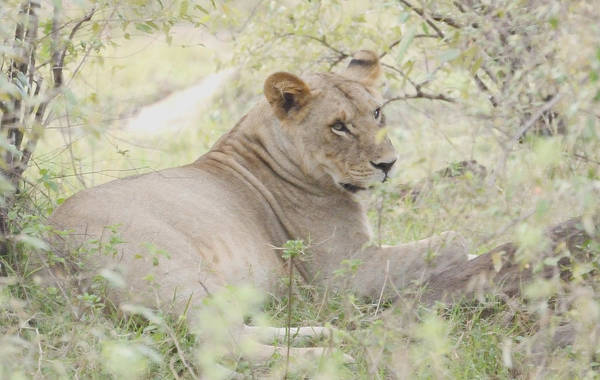 Repose Art Print featuring the photograph Lioness Relaxing by Tom Wurl
