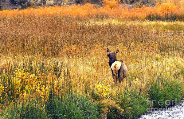 Wildlife Art Print featuring the photograph Lone Elk. by Robert Kleppin