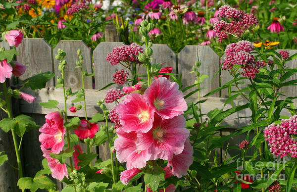 Hollyhocks Art Print featuring the photograph My Garden 2011 by Steve Augustin