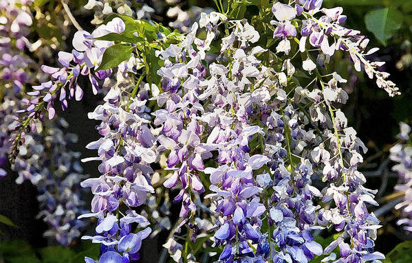 Wisteria Art Print featuring the photograph Nancys Wisteria Cropped Db by Rich Franco