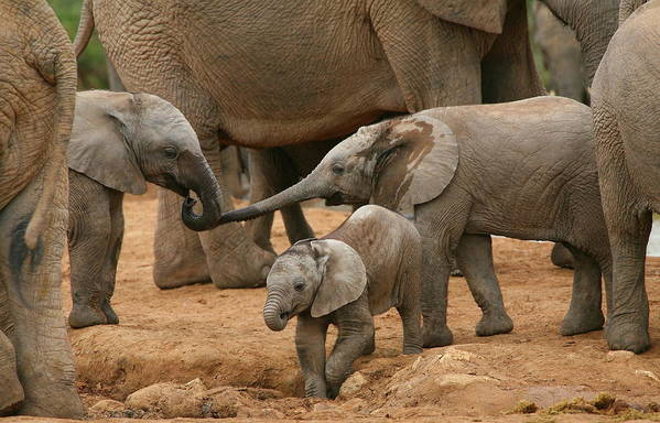Elephant Art Print featuring the photograph Pachyderm Pals by Bruce J Robinson