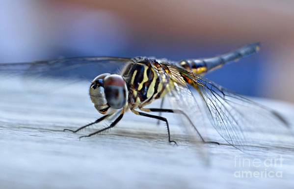 Tiger Dragonflies Art Print featuring the photograph Stop By Tiger Dragon Fly by Peggy Franz