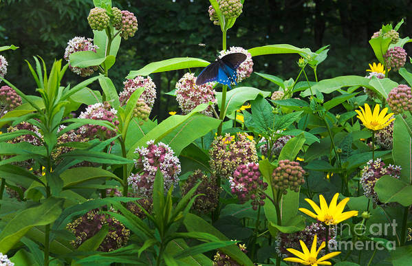Common Milkweed Art Print featuring the photograph Wildflower Meadow by Kenneth Murray