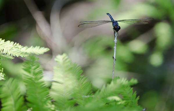 Dragonfly Art Print featuring the photograph Dragonfly by Mike Rivera