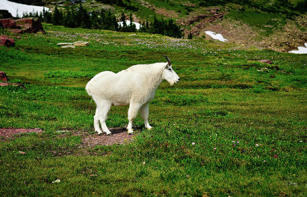 Glacier National Park Art Print featuring the photograph Mountain Goat by Greg Norrell