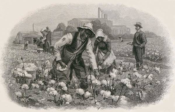History Print featuring the photograph African Americans Pick Cotton by Everett