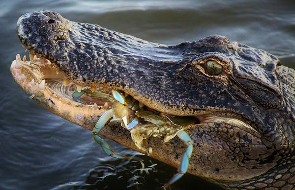 Alligator Art Print featuring the photograph Alligator Catches Two Crabs by Paulette Thomas