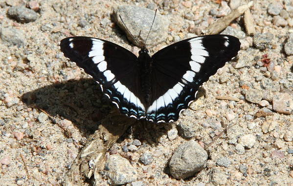 Butterfly Art Print featuring the photograph Black Admiral by Don Downer