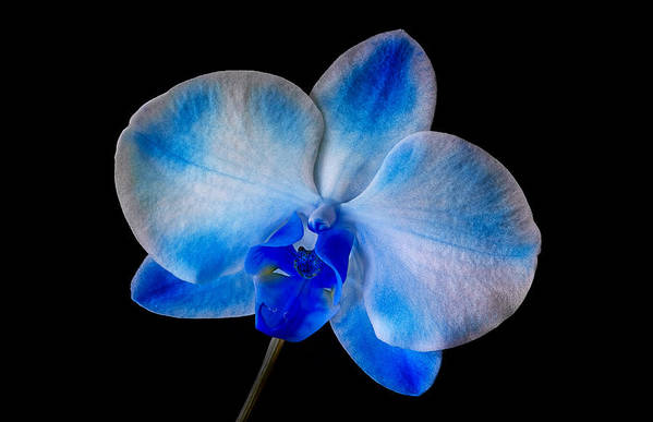 Orchid Art Print featuring the photograph Blue Orchid Bloom by Susan Candelario