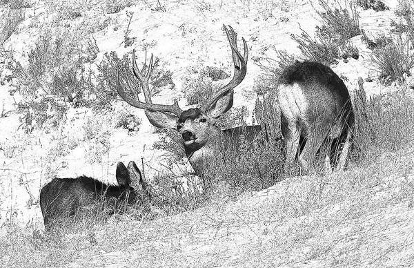 Mule Deer Art Print featuring the photograph Bw Mule Deer by Earl Nelson
