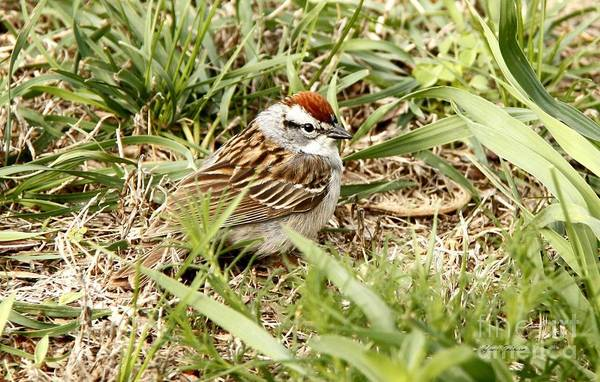 Chipping Sparrow Art Print featuring the photograph Chipping Sparrow by Yumi Johnson